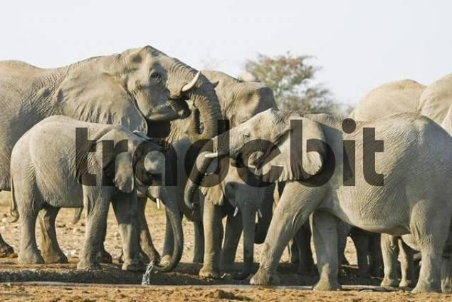 Elephant herd Loxodonta africana at waterhole, Etosha National Park, Namibia, Africa