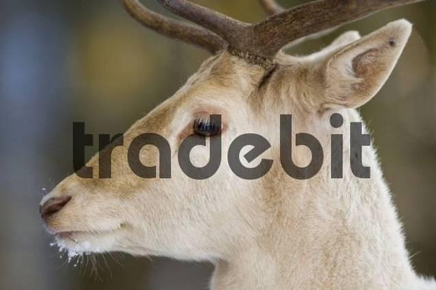 European Fallow Deer Dama dama