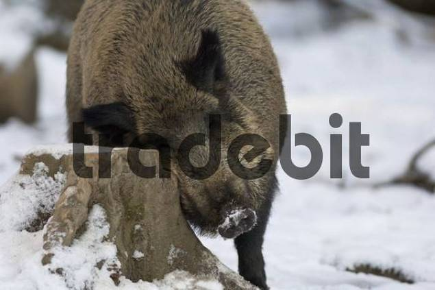 European wild boar Sus scrofa scrofa