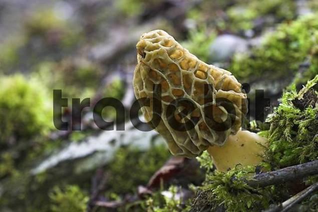 morel morchella esculenta. Valuable mushroom, growing March to June.
