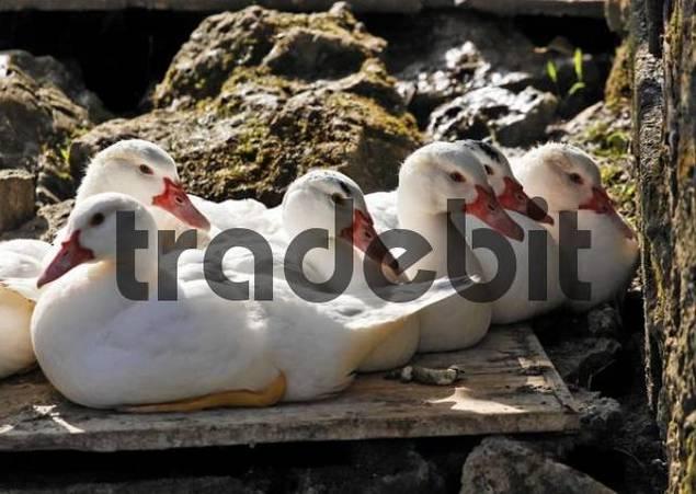 Domestic ducks anas domestica pottenstein franconian for Domestica in svizzera