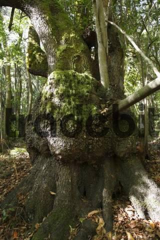old laurel tree, Garajonay National Park, laurisilva, La Gomera, Canary Islands, Spain