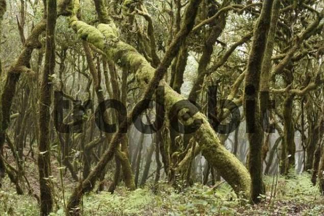 Garajonay National Park, laurel forest, laurisilva, La Gomera, Canary Islands, Spain