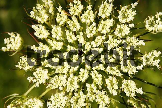 Carrot Daucus carota flower