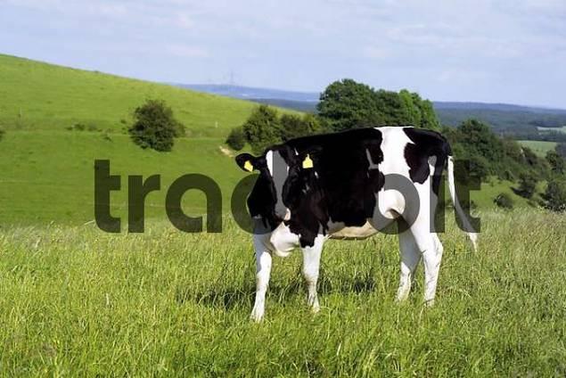 Calf on a pasture, German Holstein