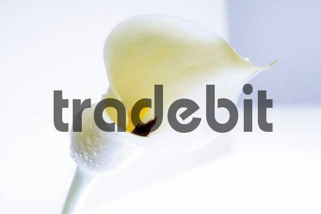 Calla Lily Zantedeschia covered in water droplets