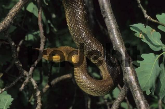 Aesculapian Snake Elaphe longissima or Zamenis longissimus, Leithagebirge Leitha Range, Austria, Europe