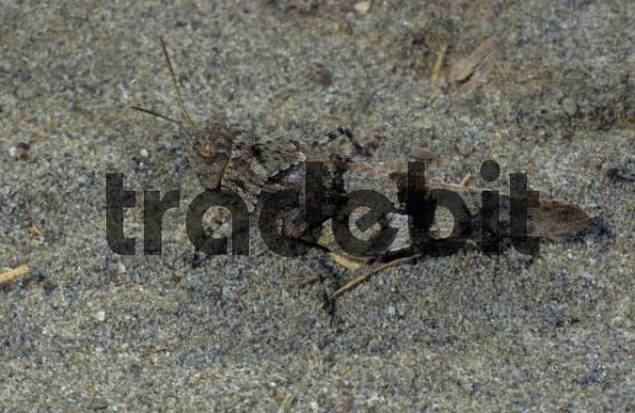 Blue-winged Grasshopper Oedipoda caerulescens
