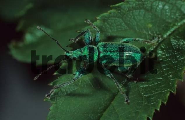 Weevil Phyllobius sp.