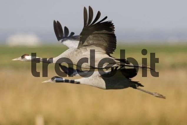 Common- or Eurasian Cranes Grus grus in flight, autumn migration, Mecklenburg-Western Pomerania, Germany, Europe
