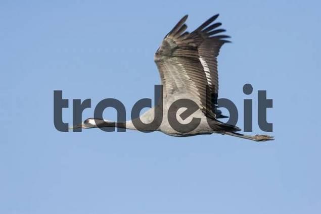 Common- or Eurasian Crane Grus grus in flight, autumn migration, Mecklenburg-Western Pomerania, Germany, Europe