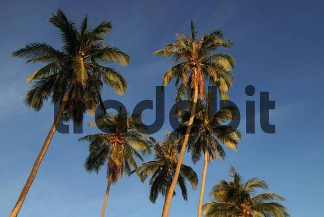 Palm trees in evening light, island Kho Phangan, Thailand