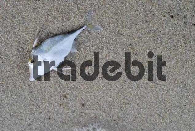 Dead fish at the beach