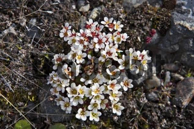 Matico Acantholippia seriphioides, Cueva del Milodon, Patagonia, Chile, South America