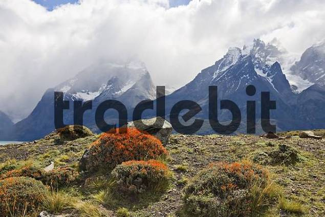 Fire Tongue or Scarlet Gorse Anarthrophyllum desideratum with Torres del Paine Range in the background, Torres del Paine National Park, Patagonia, Chile, South America
