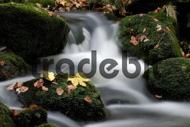 Kleine Ohe mountain stream and autumn leaves, Bayerischer Wald Bavarian Forest, Bavaria, Germany, Europe