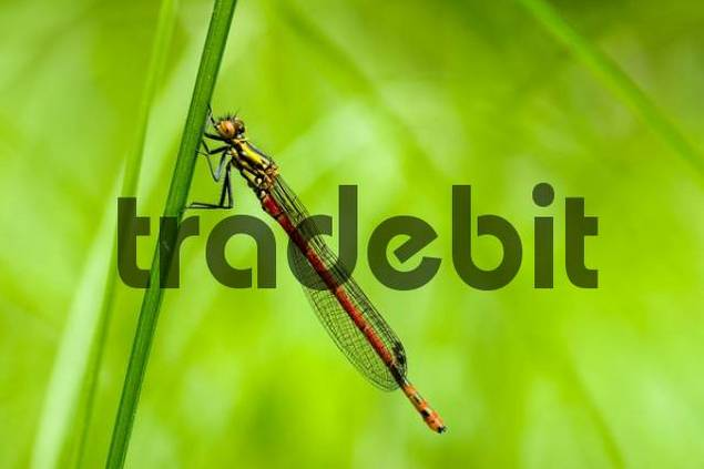 Large Red Damselfly Pyrrhosoma nymphula on a blade of grass, Mindelheim, Bavaria, Germany, Europe