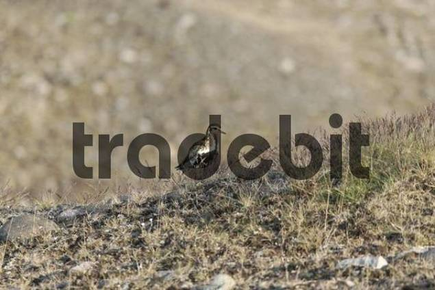 Eurasian Golden Plover Pluvialis apricaria, Joekulsarlon glacial lake, southern coast of Iceland, Atlantic Ocean