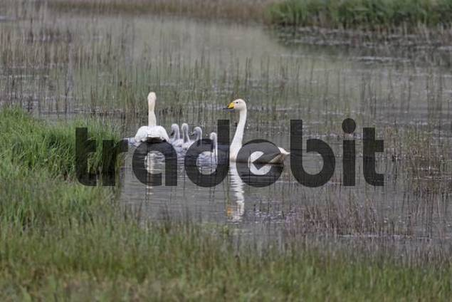 Whooper Swan Cygnus cygnus family, southern coast of Iceland, Atlantic Ocean