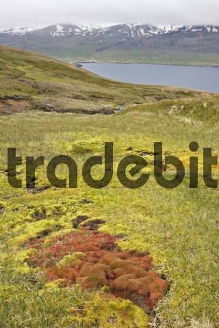 Willow Moss Fontinalis antipyretica, Bakkageri, Iceland, Atlantic Ocean
