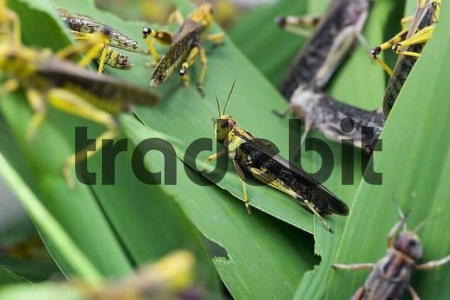 Migratory locust Locusta migratoria, Zoo of Basel, Switzerland