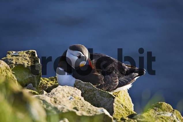 Atlantic Puffin Fratercula arctica, Latrabjarg, Western Fjord, Iceland, Atlantic Ocean