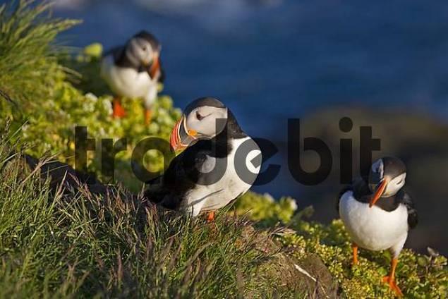 Atlantic Puffins Fratercula arctica, Latrabjarg, Westfjords, Iceland, Atlantic Ocean