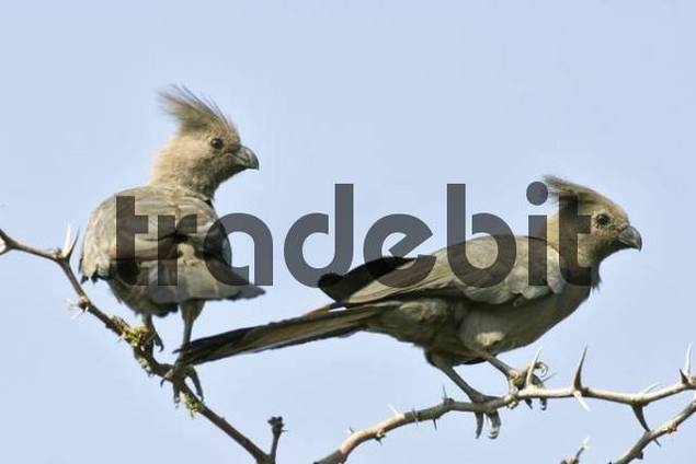 Grey Go-away-bird, Grey Lourie, Grey Loerie or Kwöoì Corythaixoides concolor, Khama Rhino Sanctuary Park, Serowe, Botswana, Africa