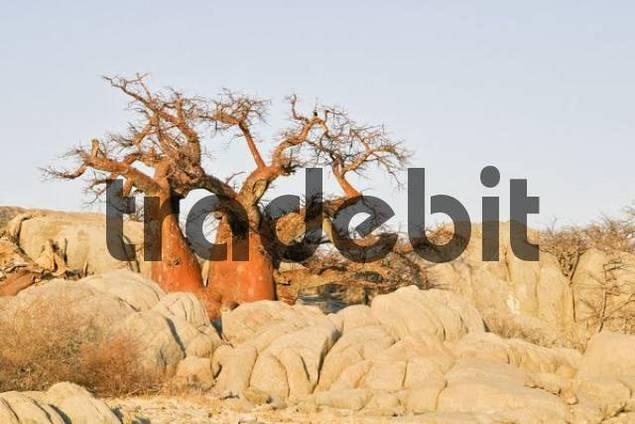 Baobabs or Adansonia digitata on Kubu Island Lekubu in the south west of Sowa Pan, Makgadikgadi pans, Botswana, Africa