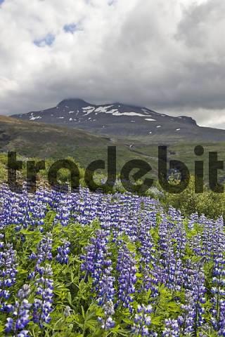Purple Lupins Lupinus, Iceland, Atlantic Ocean