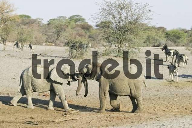 Fighting african elephants Loxodonta africana in the dry riverbed, Boteti River, Khumaga, Makgadikgadi Pans National Park, Botswana, Africa