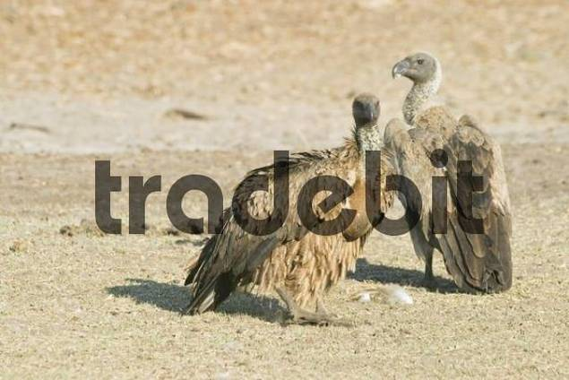 Cape Griffon or Cape Vulture Gyps coprotheres in the dry riverbed, Boteti River, Khumaga, Makgadikgadi Pans National Park, Botswana, Africa