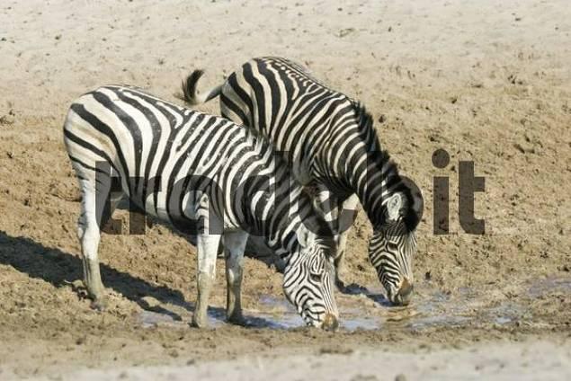 Plains Zebras Equus quagga burchelli at a waterhole in the dry riverbed, Boteti River, Khumaga, Makgadikgadi Pans National Park, Botswana, Africa