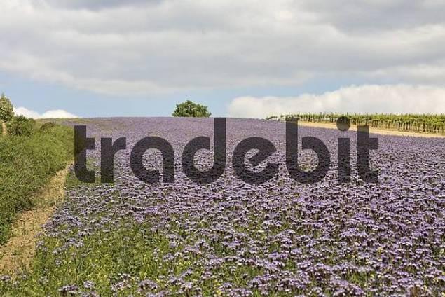 Field of Lacy Phacelias Phacelia tanacetifolia, Mt. Pollitzerberg, Weinviertel wine region, Lower Austria, Austria, Europe