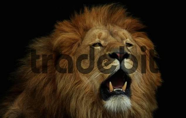 Brüllender Löwe Panthera leo