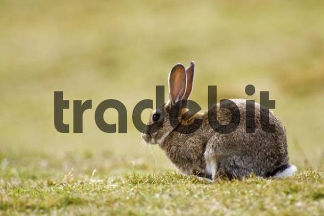 Rabbit Oryctolagus cuniculusat the National park Tierra del Fuego, Argentina, South America