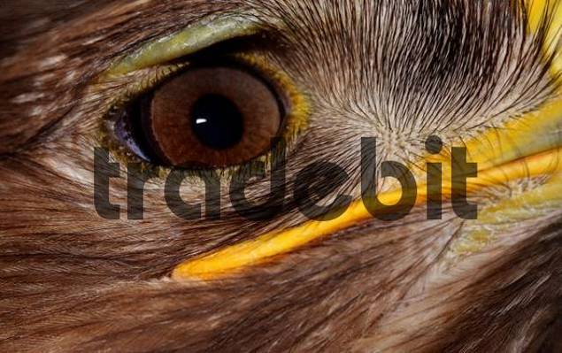 Golden Eagle Aquila chrysaetos portrait