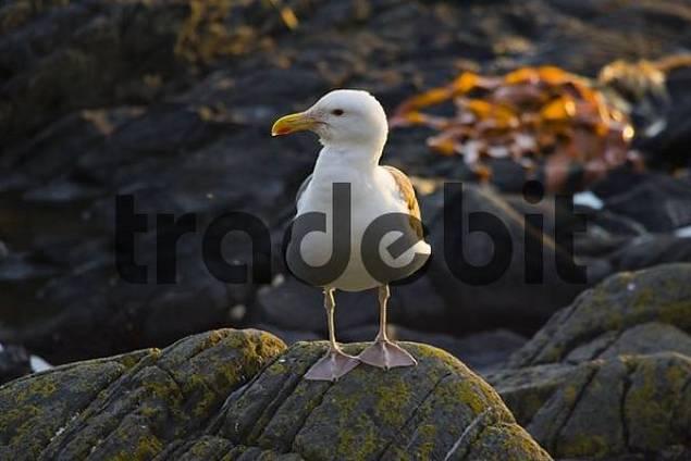 Great Black-backed Gull Larus marinus, Runde Island, Norway