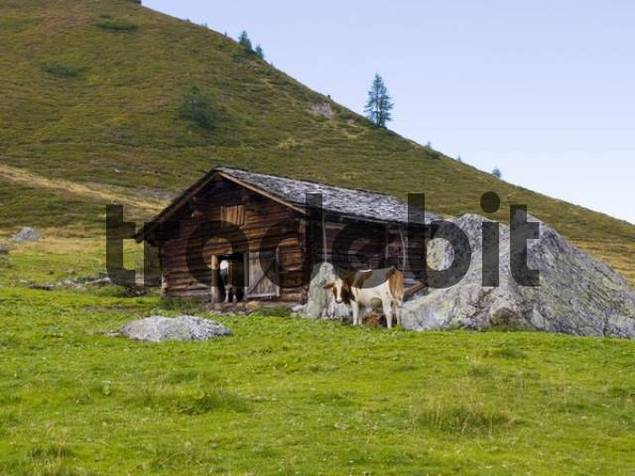 Cow looking out of farm shed, Karlalm alpine pasture uncultivated, Grossarltal, Salzburg, Austria, Europe