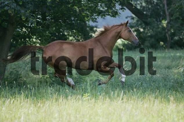 Warmblood mare, galloping