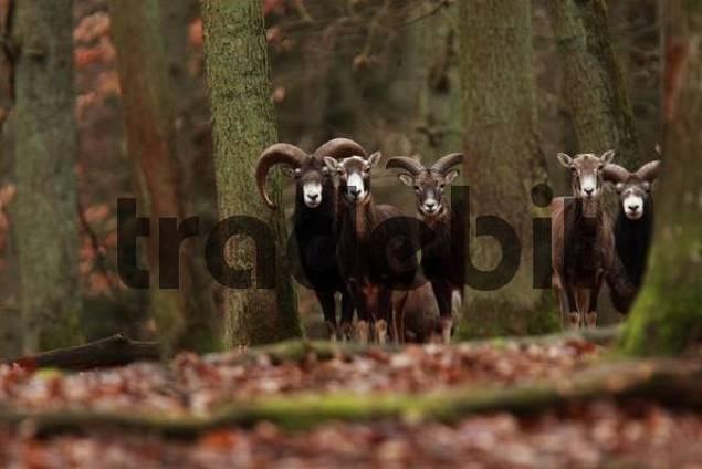 European Mouflons Ovis ammon musimon, Ovis gmelini musimon, Ovis orientalis musimon