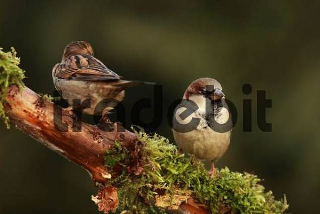 House Sparrows or English Sparrows Passer domesticus