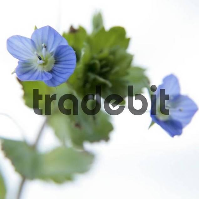 Violets Viola