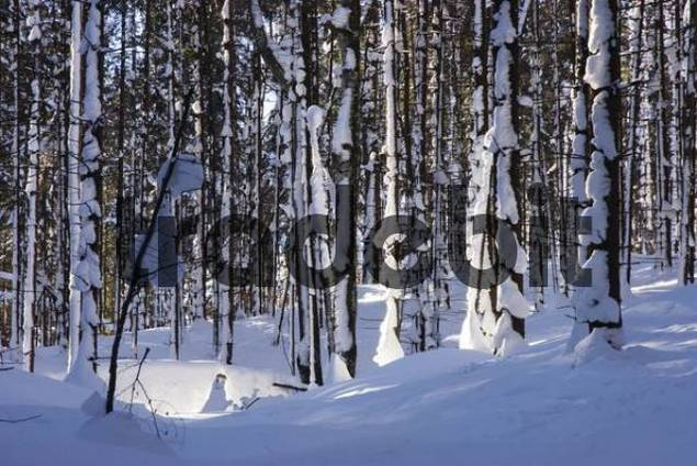 Snow-covered tree trunks in a mountain forest, Bayrischzell, Bavaria, Germany, Europe