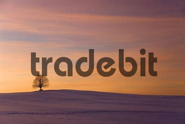 solitary tree on a snowy hill after sunset, Irschenberg, Upper Bavaria, Germany
