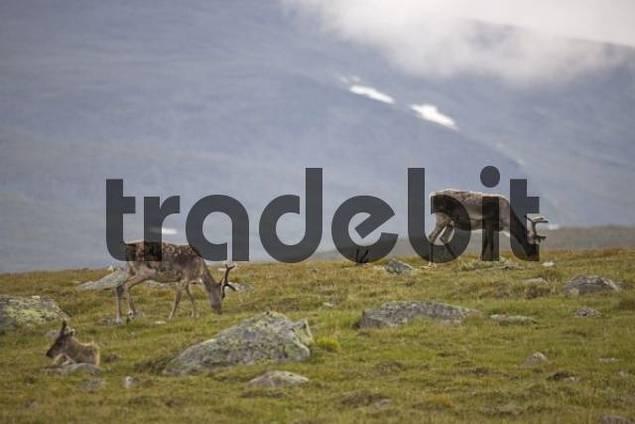 Domestic Reindeer Rangifer tarandus near Jotunheimen, Valdresflya, Norway, Scandinavia, Europe