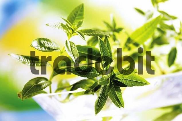 Lemon Verbena or Lemon Beebrush Lippia citriodora