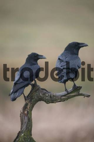 Common or Northern Ravens Corvus corax