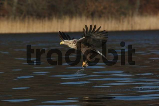 White-tailed Eagle or Sea Eagle Haliaeetus albicilla taking flight from a lake with a fish in its talons