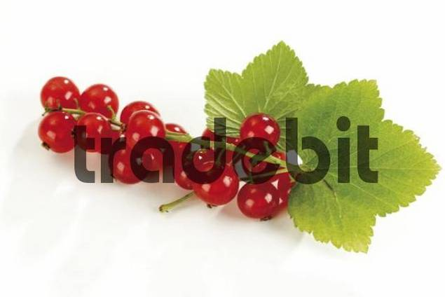 Red Currants or Redcurrants Ribes rubrum